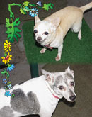 Precious and Weasle in Pinellas Park